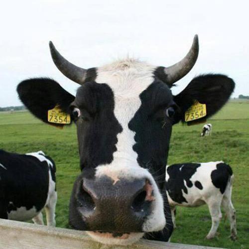 Gesichter-Vase-Kuh